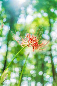 綺麗に咲く彼岸花